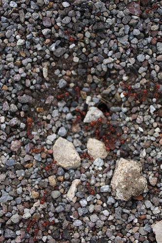hormigas-rojs.jpg